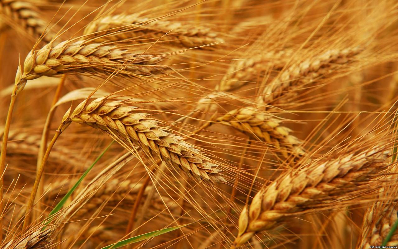 Южные регионы Украины лидируют по сбору пшеницы