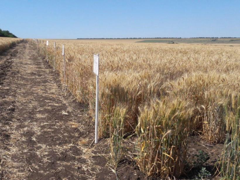 Т. Адаменко: «Из-за затяжных дождей 30% урожая зерновых пойдет на корм скоту»