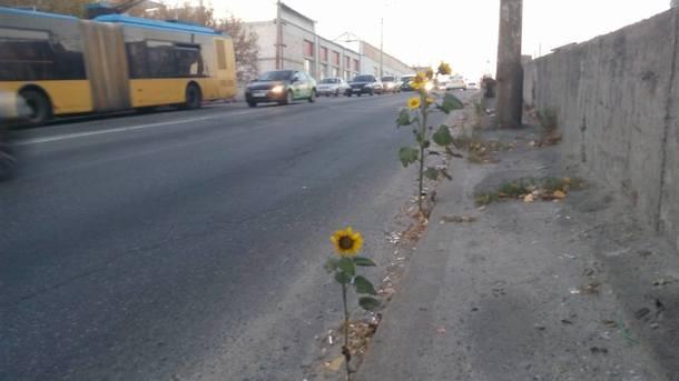 На Шулявском мосту в Киеве созрели подсолнухи (ФОТО)