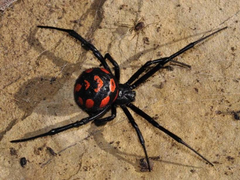 Киевляне заметили на дачном участке ядовитого паука-каракурта (ВИДЕО)