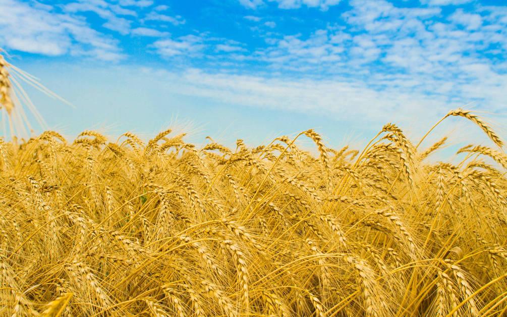 Одесская область лидирует по количеству собранного урожая пшеницы