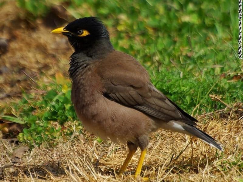 Птица майна