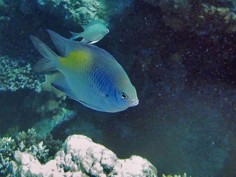 Рыбка-ласточка