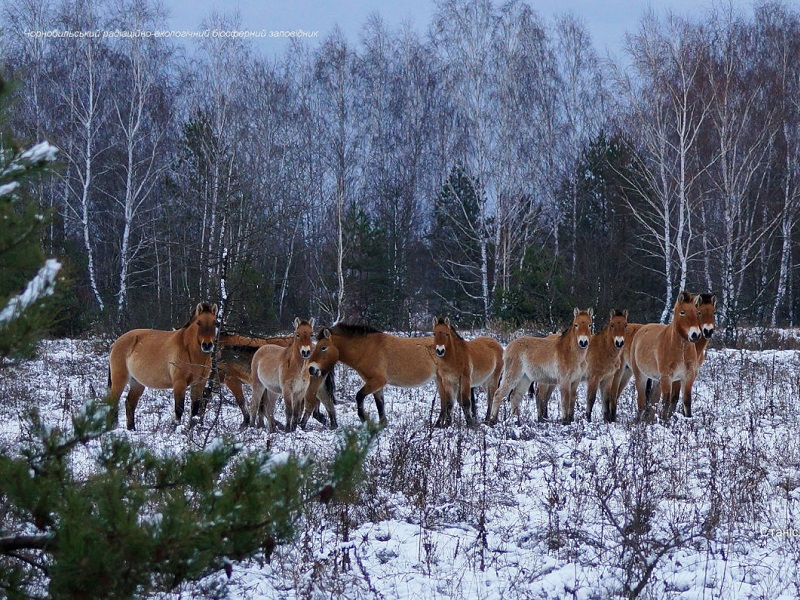 Лошади Пржевальского в Чернобыльской зоне.